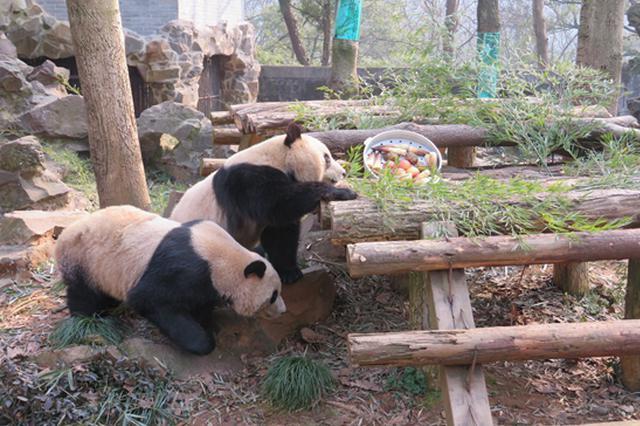 大年三十杭州动物园的动物们也吃上特殊的年夜饭