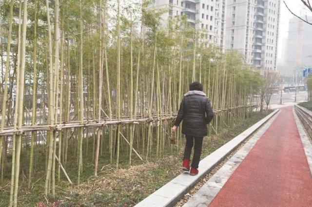 绍兴路边一片小竹林种着山茶花 遭过路妇女顺手牵羊