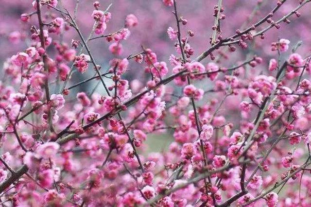 金华梅园1300多株梅花开放 成春节旅游休闲好出去