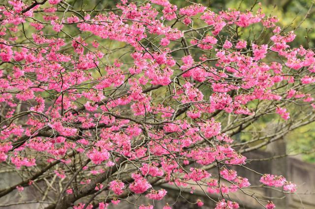 郁金香含苞待放 杭州太子湾将迎最美花季