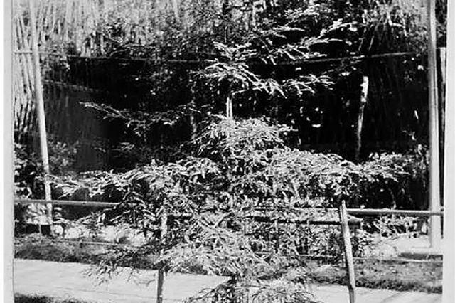 杭州每棵树都有故事 相伴数十年不知曾漂洋过海而来