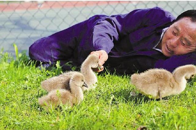 浙大天鹅饲养员将告别天鹅宝宝:2000多天从早陪到晚