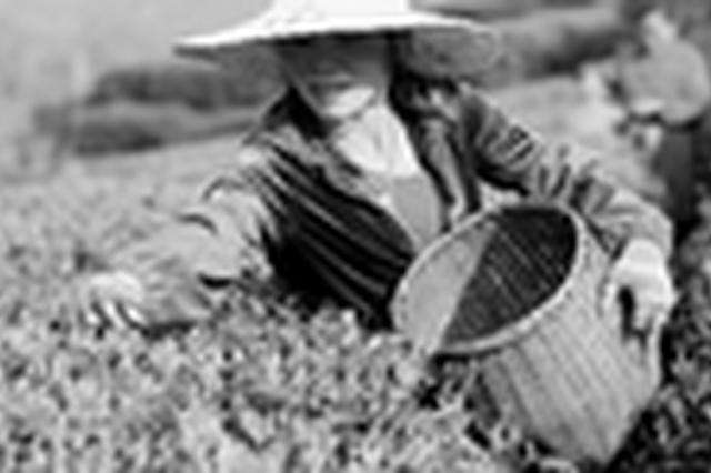 3月20日西湖龙井新茶开喝 今年产量与去年持平