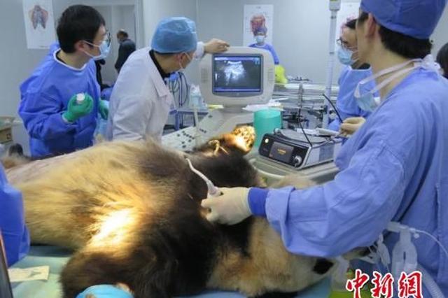杭州大熊猫成就术后第12天 身体虚弱仍在危险期