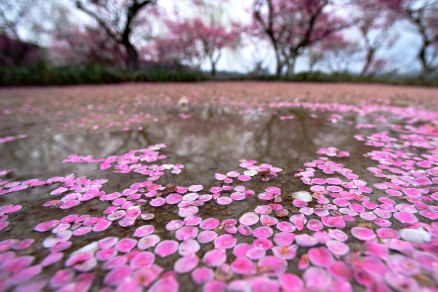 杭州一夜回冬雨后梅花落满地