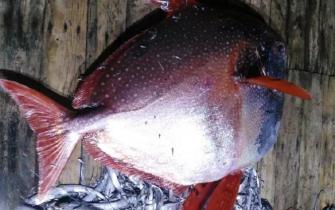温岭渔民捕获200多斤罕见月亮鱼