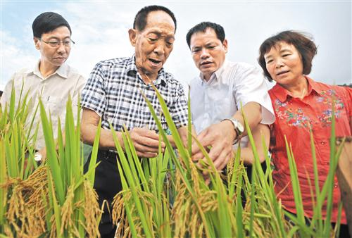 在广西桂林市灌阳县黄关镇联德村超级稻生产基地,袁隆平(左二)在查看超级水稻生长情况(2013年8月19日摄)。 新华社记者 陆波岸摄