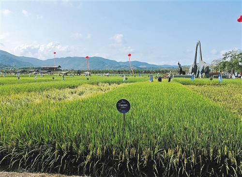 位于海南三亚的水稻国家公园里,展示了众多超级稻品种,袁隆平院士团队的超级稻品种也在其中。