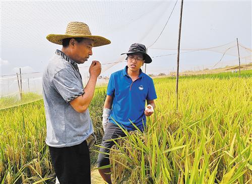 在中国种子集团南繁育种基地,育种科研工作者正在查看水稻长势并做业务交流。中种集团研发的多个水稻品种被农业农村部认定为超级稻。