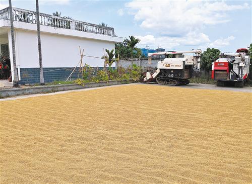安徽荃银高科种业公司南繁育种基地收获水稻后晾晒稻谷。荃银高科是我国籼型两系超级稻种子的主要供应商之一。