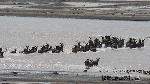 近日,长江七渡口。70余头白唇鹿为过冬集体渡江。受访者供图