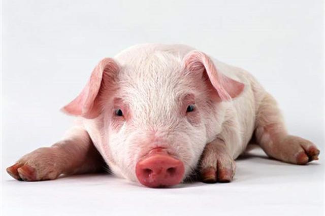 猪一类疫病_非洲猪瘟防控 这些信息你需要知道_新浪安徽_新浪网