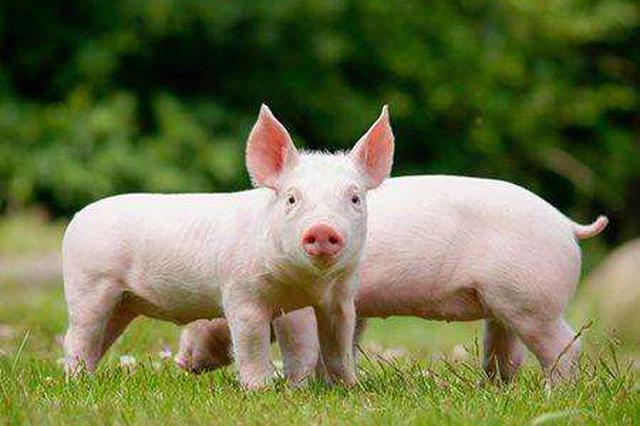 猪一类疫病_安徽省疾控中心:非洲猪瘟不传染人 猪肉可以吃_新浪安徽_新浪网