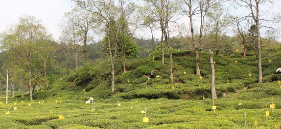 黃山休寧縣:支持發展茶葉產業助