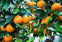 極品柑橘一個賣20元