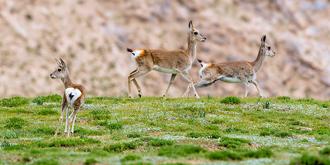 青藏高原特有种:藏原羚