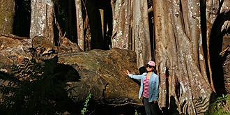 独树成林!中国最大的榕树