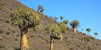 令人惊叹的非洲箭袋树