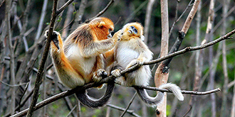 寻找野生金丝猴