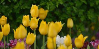 郁金香花开香满园