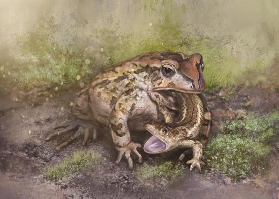 格尼蛙吞食諾敏螈生態復原圖。圖源:邢立達