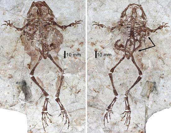 格尼蛙和腹中的諾敏螈化石。邢立達/攝