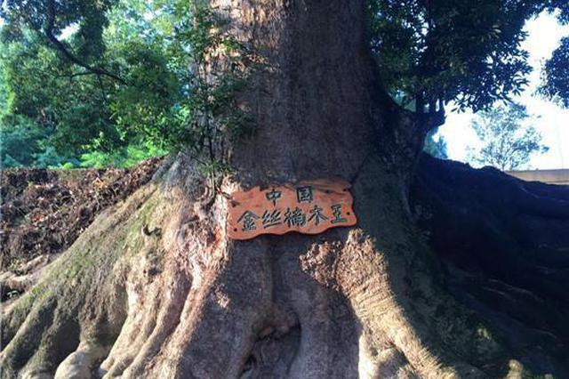 社会资讯_1500岁的金丝楠木 富商想用22套别墅换一棵楠木树_新浪重庆_新浪网