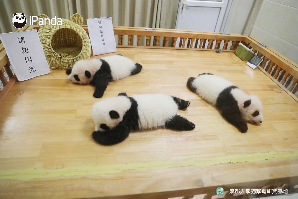 """围观成都大熊猫双胞胎""""热干面""""""""蛋烘糕""""认亲现场"""