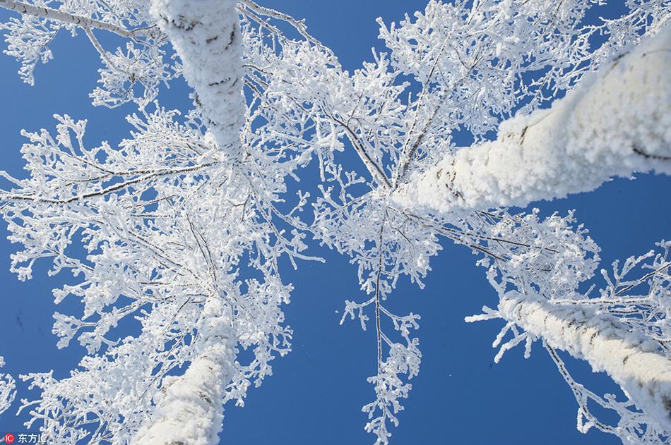 红腹锦鸡在雪地嬉戏打闹 仿佛看到了古人的画