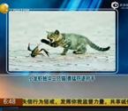 小龙虾独斗三只猫勇猛吓退对手