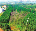 武汉拟推水杉保护意见