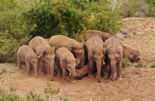 象群重回易门 大象搭凉棚为小象遮阴