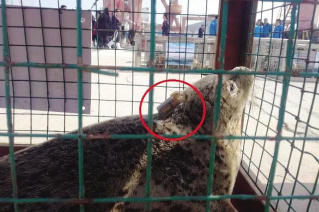 被大連放歸的斑海豹從韓國沿海發回信號