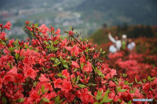 Tourists view blooming azalea flowers at Longquan Mountain in Danzhai County, southwest China's Guizhou Province, April 26, 2021. (Photo by Huang Xiaohai/Xinhua)