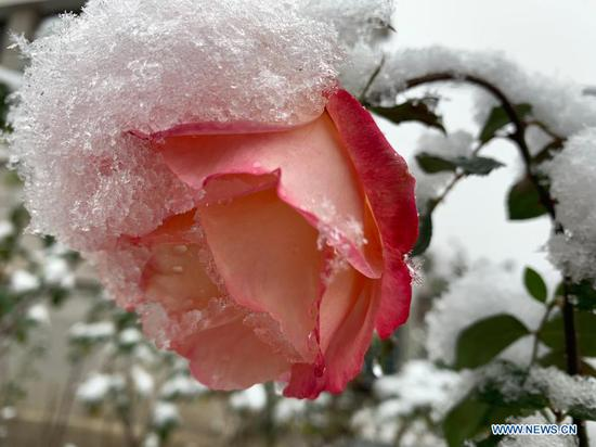 Snow lays on a flower in the suburb of Beijing, capital of China, Nov. 21, 2020. Beijing witnessed a snowfall on Saturday. (Xinhua/Liu Jie)