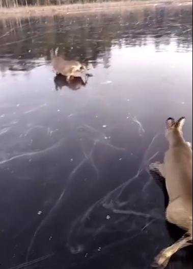 小鹿在冰面上干滑