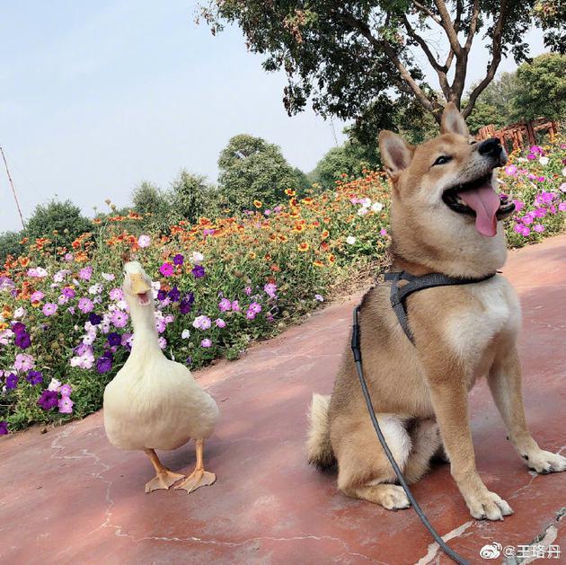王珞丹发寻鸭启事 找到鸭鸭有重赏