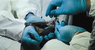 """《通走病》第3荟萃,生活在埃及的盖兹·卡亚利博士及团队经众年追踪钻研指出,近些年许众恐怖的病毒都和蝙蝠有相关,""""蝙蝠能够成为病毒的蓄积器""""。"""