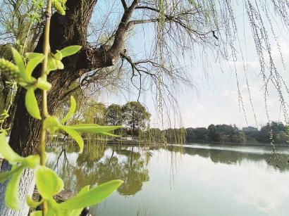 上海影视笑园的树木都爆出了新芽