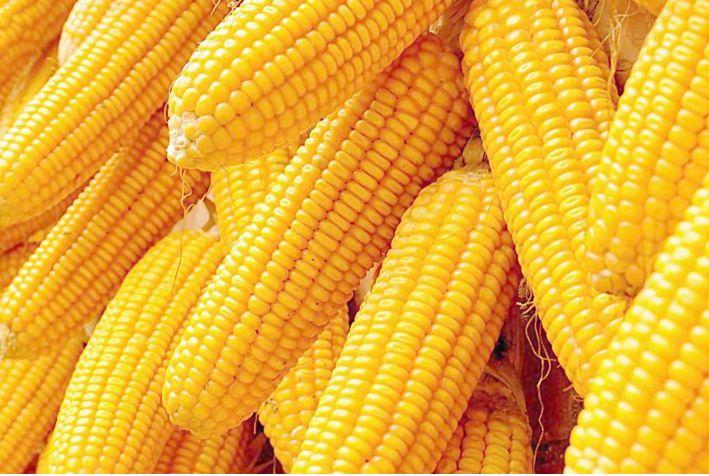 下游走货较慢 玉米价格难有涨势
