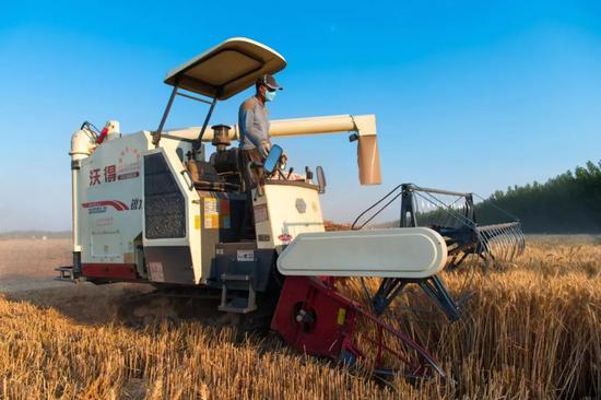 6月13日,河北邢台清河县小麦开镰收割,全县小麦产量预计比上年增产1成。夏收期间,全县有400多台联合收割机在不同区域展开作业。(乔金亮摄)