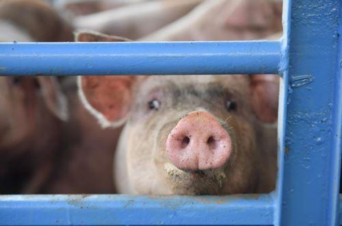 生猪养殖利润突破2500元/头 节前猪价上涨压力缓和