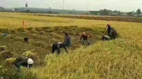 龙凤山乡东局子村米农正对水稻进走收割,该村约有200余户米农展现了滞销的情况。受访者供图
