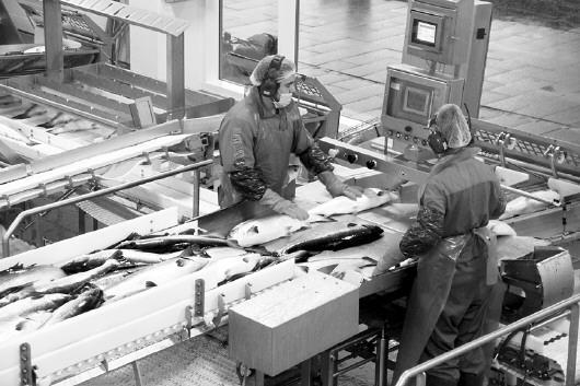 做事人员在挪威中部弗尔岛一家三文鱼处理厂内做事(梁有昶 摄)