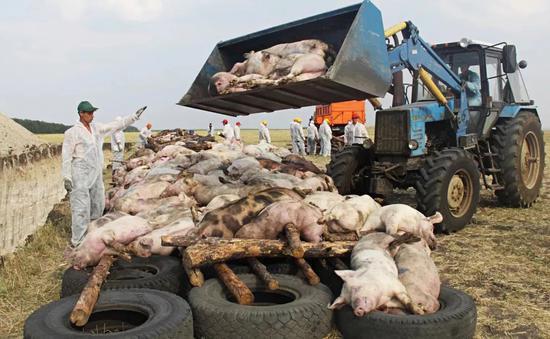 2010年8月26日,俄罗斯罗斯托夫地区,工人将患有非洲猪瘟的病猪屠宰后堆在一起准备焚烧 (来源:视觉中国)