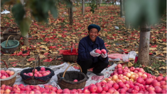 永辉超市源头直采 陕西果农的苹果地