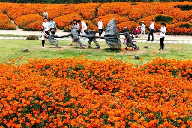 福州花海公园近3万㎡硫华菊绽放 橘黄色花海明丽动人