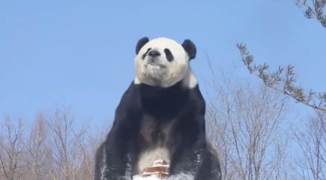笑出猪��h�_熊猫爬上棚顶玩耍,突然技术失灵,下一秒游客笑出猪叫