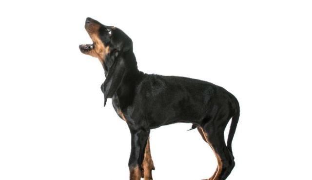 369宠物网_宠物狗的吠叫经常扰民,可以通过正确的训练方式去改正