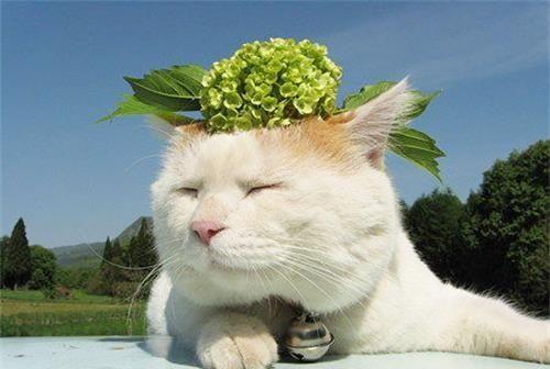 日本田园猫_猫咪知识:日本田园猫有猫癣需要补充营养吗
